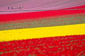 Dutch tulip fields between Leiden and Haarlem